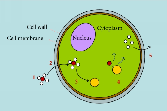 A-schematic-diagram-showing-the-pathway-that-drives-Nile-red-interaction-with-microalgal.png